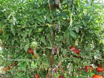 Kwand Hsi Hung Shih Tomato