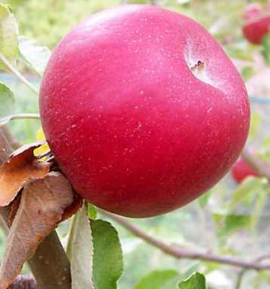 Apples_red_apple_variety_small