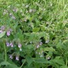 682px-Russian_comfrey_800_small