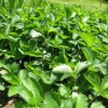 strawberry_patch_small
