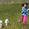 running_lambs_featured