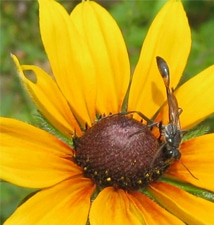 The Wildflower Black-Eyed Susan