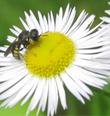 The Wildflower Fleabane