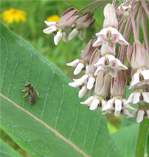 The Wildflower Milkweed