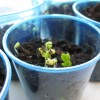 Broccoli Seedlings