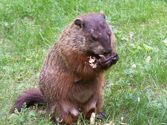 how to keep groundhogs out of my garden. Groundhog Control Strategies How To Keep Groundhogs Out Of My Garden